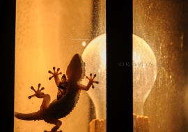 La atracción de la luz. Salamanquesa común (Tarentola mauritanica)