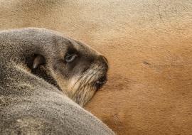 Cape fur seal (Arctocephalus pusillus pusillus)