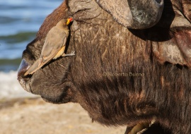 Búfalo cafre (Syncerus caffer) y picabueyes piquigualdo (Buphagus africanus)