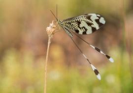 Nemoptera bipennis. Reserva de la Biosfera de las Sierras de Béjar y Francia