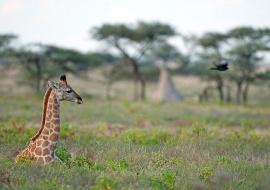 Jirafa meridional (Giraffa cameopardalis giraffa). Etosha