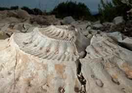 Fósil de ammonites. Serra de Vandellós