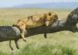 El descanso de la leona (Panthera leo)