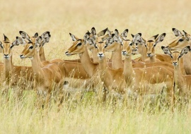 Harén de impalas (Aepyceros melampus)