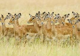 Harem of impalas (Aepyceros melampus)