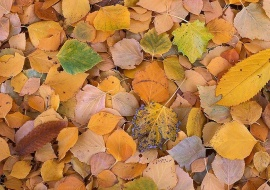 Carpet of leaves at fall
