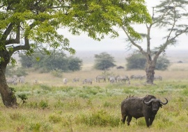 African buffalo (Syncerus caffer) in Ngorongoro Crater
