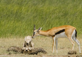 Red-fronted gazelle (Eudorcas rufifrons) and buffalo's skull