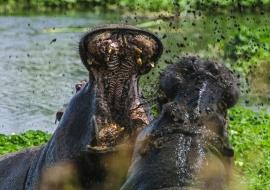 Hippo (Hippopotamus amphibius) fighting