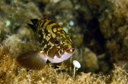 Mero (Epinephelus marginatus), Ibiza.