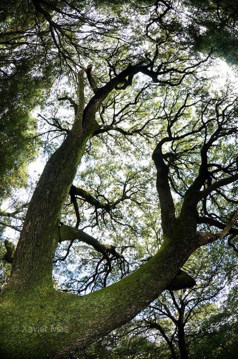 Encina (Quercus ilex). Mallorca.