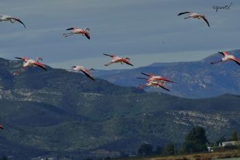 Flamencs volant – Delta D'Ebre.