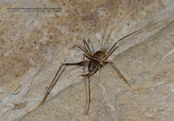 Dolichopoda linderi - Cv. del Far – Susqueda (Comarca La Selva)