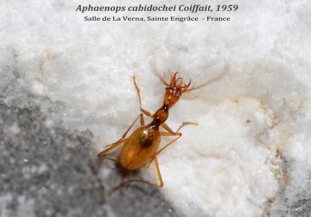 APHAENOPS CABIDOCHEI  - SALA DE LA VERNA  -  SAINTE ENGRÂCE - AQUITANIA  (FRANCE)