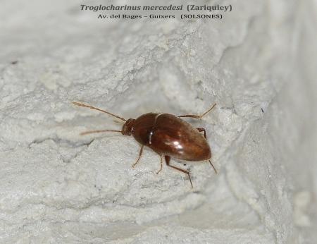 TROGLOCHARINUS MERCEDESI  -  AVENC DEL BAGES – GUIXERS  (SOLSONES)