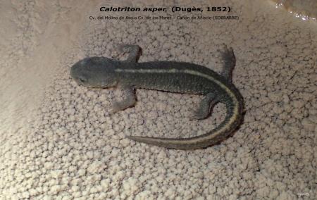 CALOTRITON ASPER – COVA DEL MOLINO D'ASO O COVA DELS MOROS – CANÓ D'ANYISCLO – AINSA (SOBRARBE)