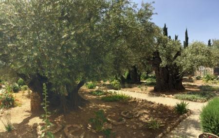 HORT DE GETSEMANI - JERUSALEM