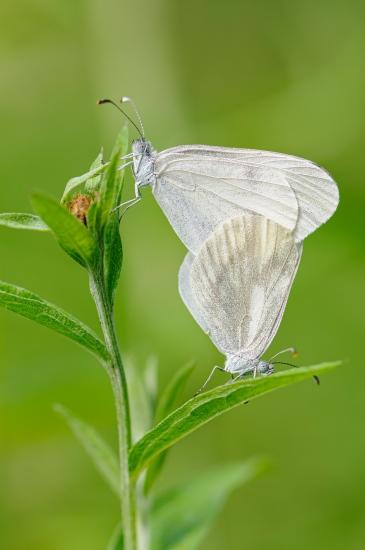 Gaspar Guerra De la Huerga-Mariposas