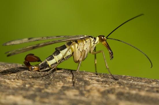 Mosca escorpión