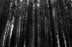 Secuoyas, bosque transformado por el régimen, 2018