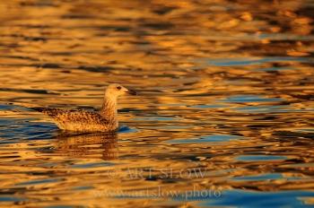 Dorados - L'Ampolla, Reserva Natural del Delta del Ebro, Catalunya. Edición: 10/10 + 2P/A