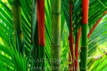 2002-8234- Palma roja, (Cyrtostachys renda), lago Gatún, Panamá