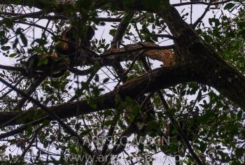 2002-9074 - Familia de monos aulladores, (Alouatta palliata), - Bocas del Toro,Isla de Colón, Panamá