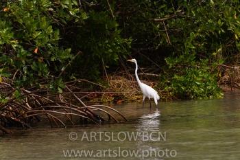 2002-9231, Garza Grande Americana, (Great Egret), Bocas del Toro,Isla de Colón, Panamá