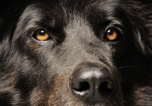 Retratos Caninos