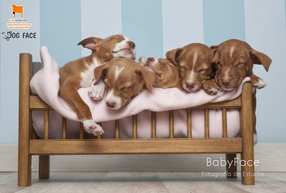 Adopta un BabyDog - Fotografía de mascotas en Madrid