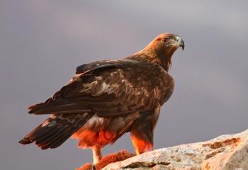 águila real con las últimas luces del día