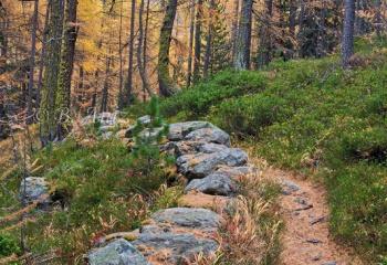 Senda por un bosque de alerces