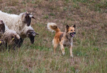 Ovejas atentas del perro y éste del pastor...
