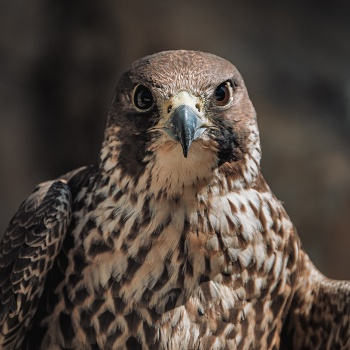 The kestrel's gaze