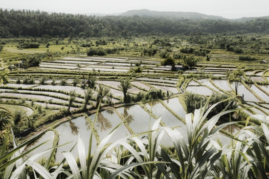 Rice Fields IV - Bali (Indonesia)