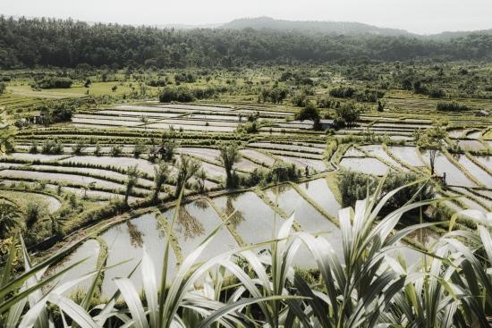 Rice Fields IV - Bali (Indonesia)