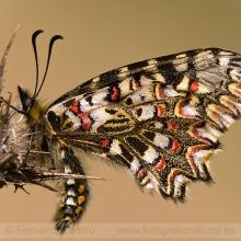 39-Mariposa arlequin (Zerynthia rumina)