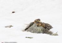Marmotes al Pirineu