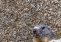 Marmota - Pirineus