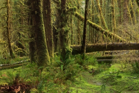Queets Rain Forest, Olympic National Park, Washington, Abril 2011.