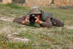 Fotografiando lagarto ocelado (Timon lepidus). España