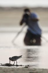 Fotografiando aves limícolas. España
