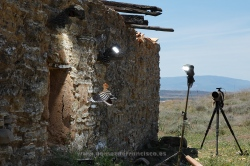 Fotografiando abubilla (Upupa epops). España