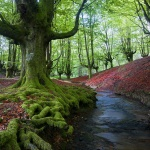The Old Beech