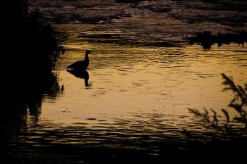 Oca al atardecer   2008   Algún lugar de Galicia, España