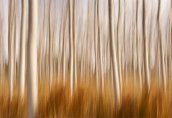 Spring Impressions in a Poplar Field