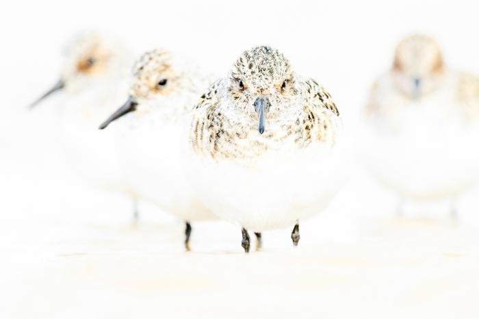 Four sanderlings