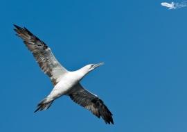 Alcatraz-vuelo-cielo azul