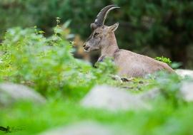 Ibice-Cabra salvaje-Capra ibex