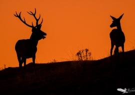 siluetas ciervos amanecer